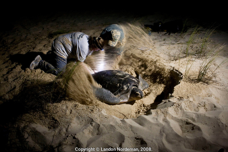 ST. CROIX - AUG 16: Turtle Researchers Amy Mackay and Richard Gideon check a newly affixed tag on a green turtle as she begins flnging sand to disguise her nest on the beach at East End Bay in St. Croix, U.S. Virgin. Islands on August 16, 2008.  This does not hurt the turtle.  This image shows the size of the body pit as well--dug by the powerful 2 front flippers. The 2 rear flippers dig down into the sand underneath the turtle, in order to make a hole in which she deposits the eggs. This photograph was made under the supervision of federally authorized researchers. (Photo by Landon Nordeman).