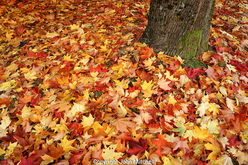 Autumn leaves surrounding the trunk of a maple tree, Vancouver, BC, Canada