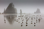 USA, Washington, Olympic National Park, Shi Shi Beach gulls