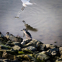 A Black-crowned night heron stands stoically on the rocky shore while, in the background, a Snowy egret takes flight, leaving a trail of water drops and its reflection on the water at the San Leandro Marina on San Francisco Bay.