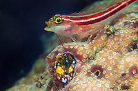 blenny yawning with crab at Tulamben, Bali, Indonesia July 2011