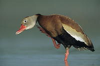 Black-bellied Whistling-Duck, Dendrocygna autumnalis, adult scratching, Welder Wildlife Refuge, Sinton, Texas, USA