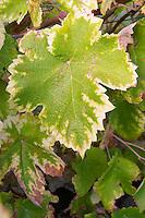 leaf with autumn colours domaine pelaquie rhone france