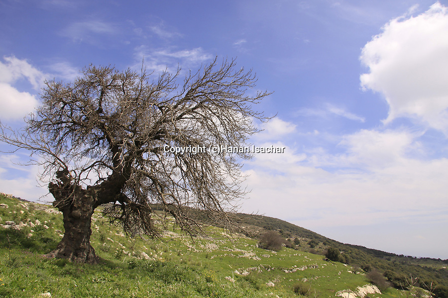Israel, Upper Galilee, Black Mulberry tree (Morus nigra) at Hurvat Beck on Mount Meron.