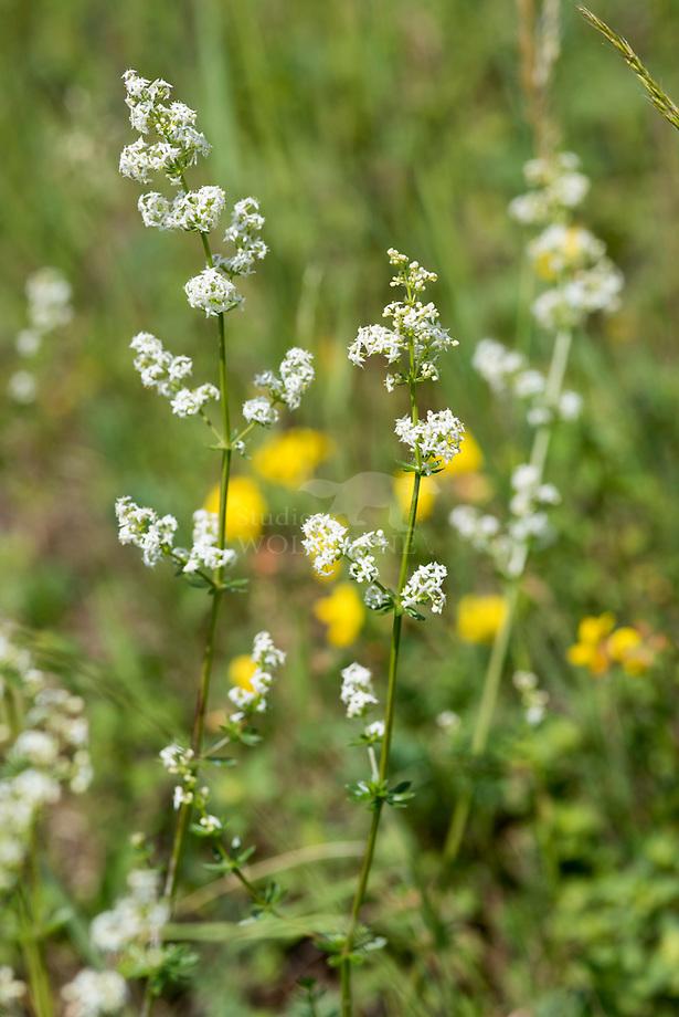 Geelwit walstro (Galium x pomeranicum)