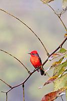 Vermillion Flycatcher, Belize
