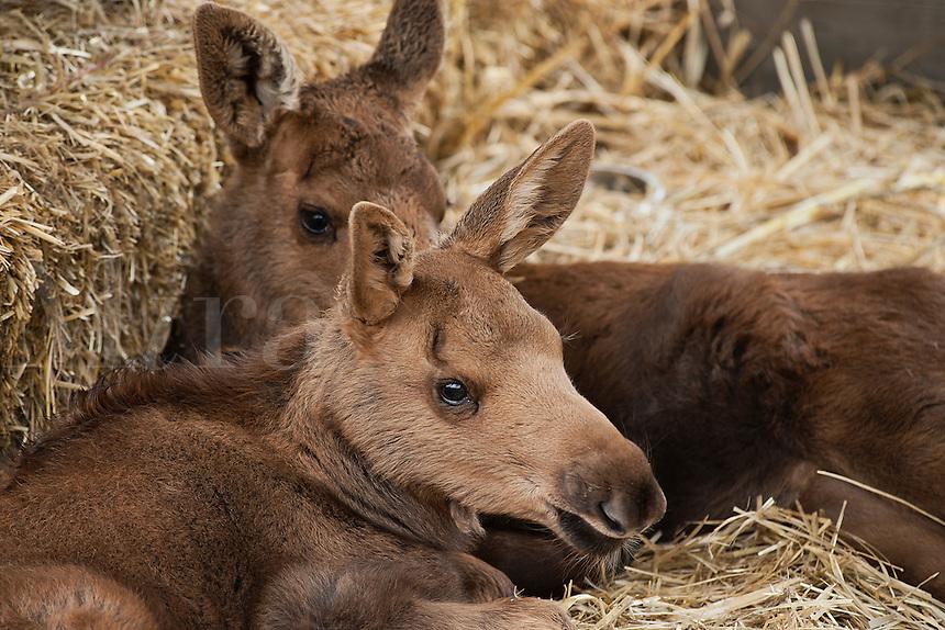Rescued young moose calves, Alaska, AK, USA