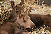 Rescued young moose calves, Alaska, AK, USA