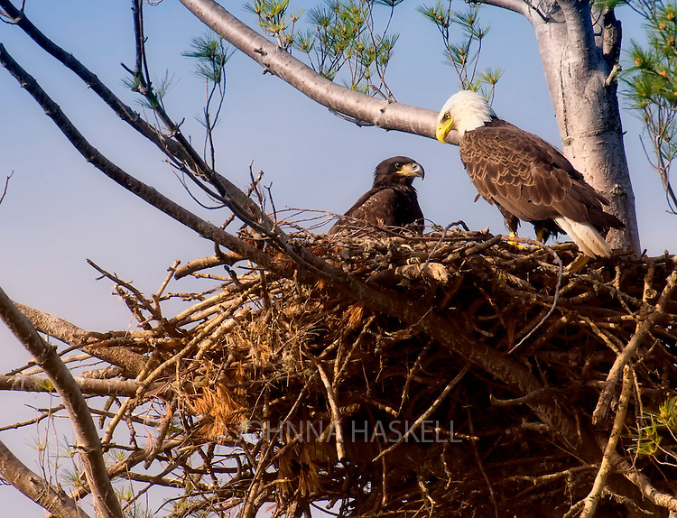 American bald eagle parent feeding fish in the nest to a yourg chick. This nest was unfortunately blown out in a wind storm on Flagstaff Lake.