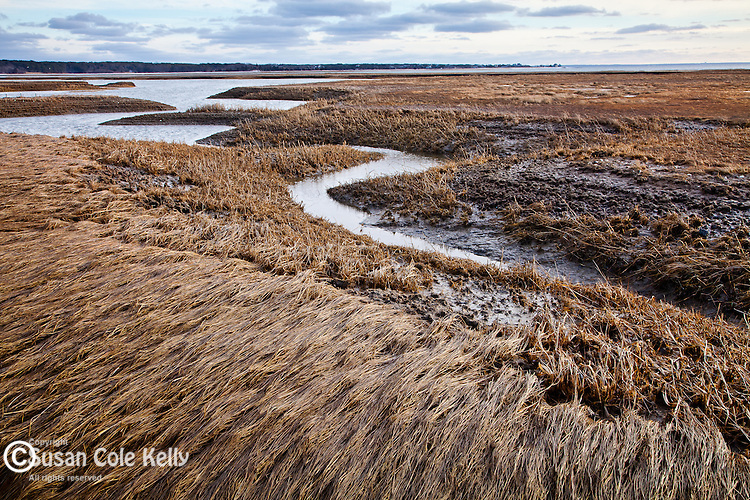 Winter cord grass at the Audubon sanctuary on Lieutenant Island in Wellfleet, Cape Cod, MA, USA
