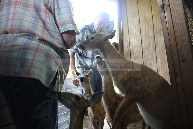 Carol and Bob Murr are bombarded by hungry fawns as they prepare their morning bottles. The Murr's are the only licensed wildlife rehabilitators in the area.