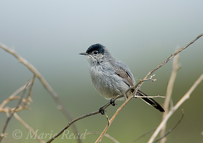 California Gnatcatcher (Polioptila californica), male, Crystal Cove State Park, California, USA<br /> The bird is listed as threatened under the United States Endangered Species Act.