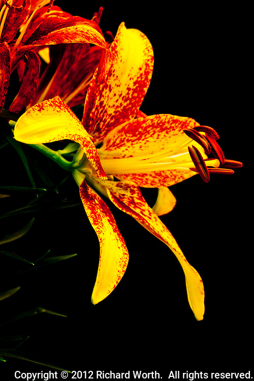 An Asiatic Lily blossom in profile displays its colorful yellow and red petals and stamen.