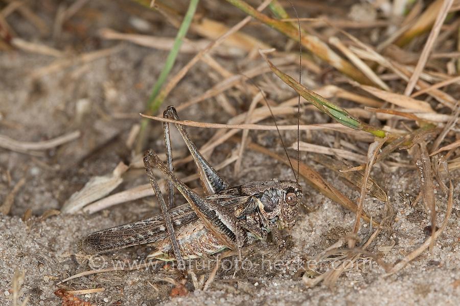 Westliche Beißschrecke, Westliche Beissschrecke, Männchen, Tarnung auf dem Untergrund, Platycleis albopunctata, Platycleis denticulata, Grey Bush Cricket, Grey Bush-Cricket