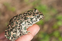 Wechselkröte, Wechsel-Kröte, Grüne Kröte, auf der Hand sitzend, Bufotes viridis, Bufo viridis, green toad