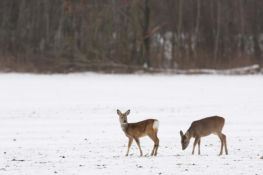 Europäisches Reh im Schnee, Winter, Rehwild, Reh-Wild, Rehe, Capreolus capreolus, roe deer, snow