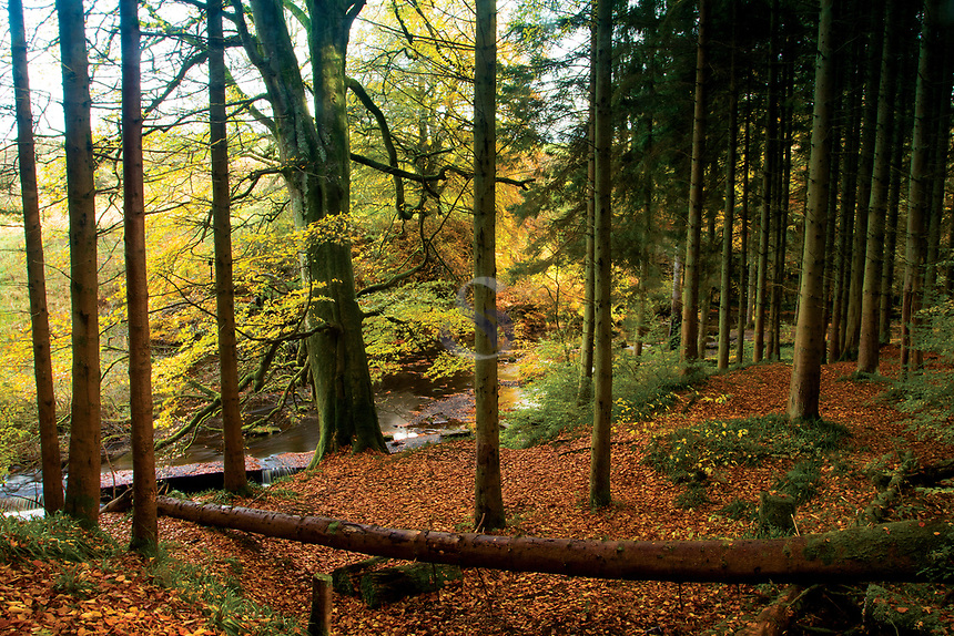 Autumn woodland, Calderglen Country Park, East Kilbride, South Lanarkshire
