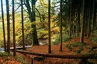Autumn woodland, Calderglen Country Park, East Kilbride, South Lanarkshire