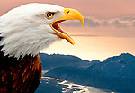 Bald eagle with a mountain landscape behind, Alaska. (Composite)