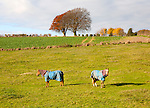 Two horse wearing winter coats standing in a fielding autumn, near East Kennett, Wiltshire, England, UK