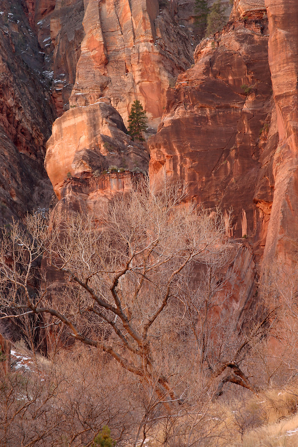 Cottonwood tree below red canyon wall of Mount Carmel, Zion National Park, Washington County, UT