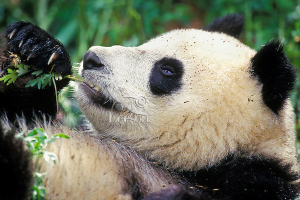 Giant Panda (Ailuropoda melanoleuca) eating , Wolong Nature Reserve in the Qionglai Mountains, Sichuan Province of central China.