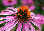 Echinacea purpurea 'Magnus' - Purple Coneflower