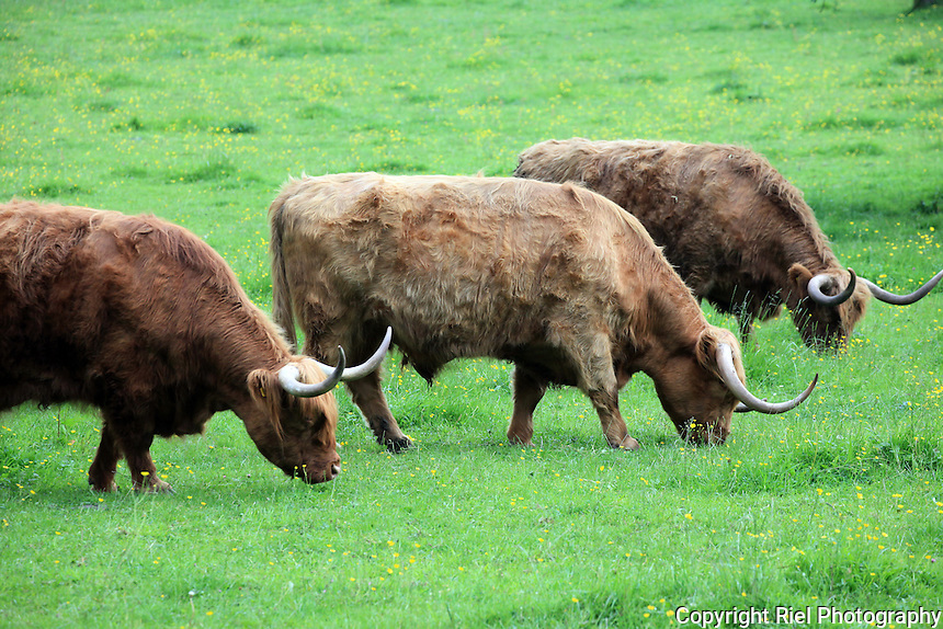 Highland Scottish cattle graze in pasture.