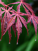 Garden-PENNSBURG-HOM-REPORTER-ANNE RAVER-A close-up of a Japanese Maple, which grows in Nancy Ondra's garden in Pennsburg, Pa., on Wednesday July 23, 2008. Jane Therese For The New York Times