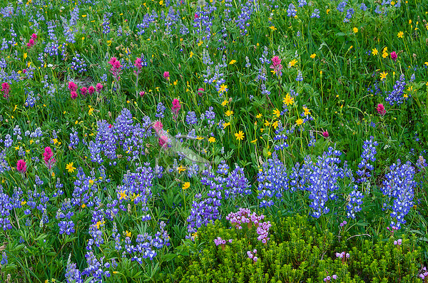 Wildflowers--lupine, arnica, paintbrush and heather--in subalpine meadow, Mount Rainier National Park, WA.  Summer.