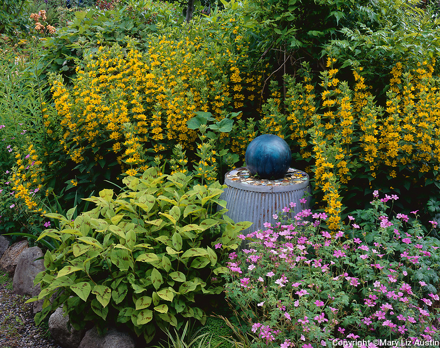 Vashon Island, WA:  Summer garden with blooming perennials - lysimachia, geranium, and persicaria.