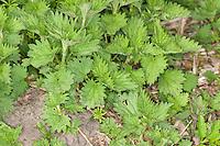 Große Brennnessel, junge, frische Blätter im zeitigen Frühjahr, Brennessel, Urtica dioica, Stinging Nettle