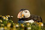 Atlantic Puffin (Fratercula arctica) resting, Skomer Island National Nature Reserve, Skomer Island, Pembrokeshire, Wales, United Kingdom