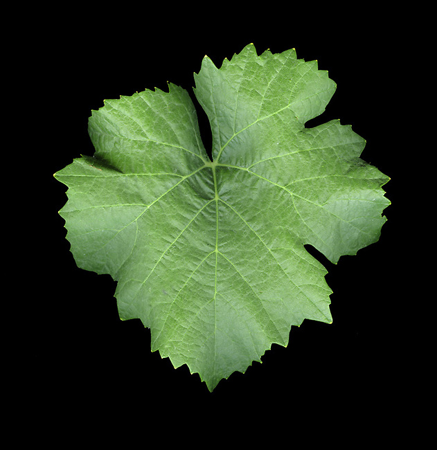 Pinot gris grape leaf