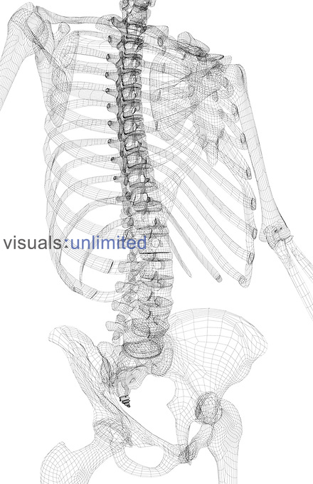 A wire frame image showing an anterolateral view (right side) of the bones of the upper body. Royalty Free