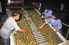 Workers sorting tomatoes at factory in Gran Canaria; Canary Islands,