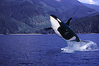 This image of a captive killer whale Orcinus orca leaping out of the water was digitally added to this British Columbia, Canada background with a computer.