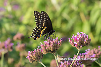 03009-01912 Black Swallowtail (Papilio polyxenes) male on Brazilian Verbena (Verbena bonariensis) Marion Co. IL