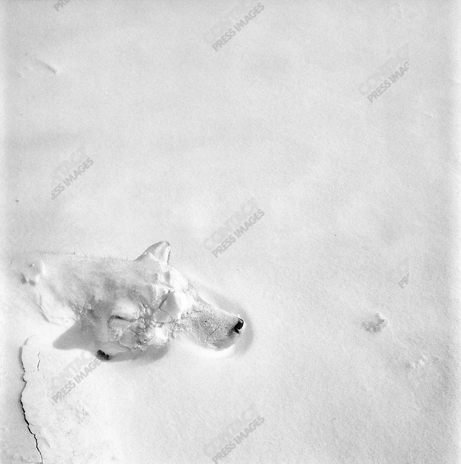 A Siberian Laika sled dog lay asleep in the early morning covered by the night?s snowfall.  The working dogs of the Chukchi are left outside even in the fiercest winter conditions, though sometimes hunters make windproofed shelters to help protect them from the bitterest cold.  In general they are fed a kilo of meat, usually whale, walrus or seal, once a day. Dogs are still commonly used for transport and hunting because of the cost and scarcity of petrol in these far-flung villages. Chukotka Autonomous Okrug, Russia, April 2007..