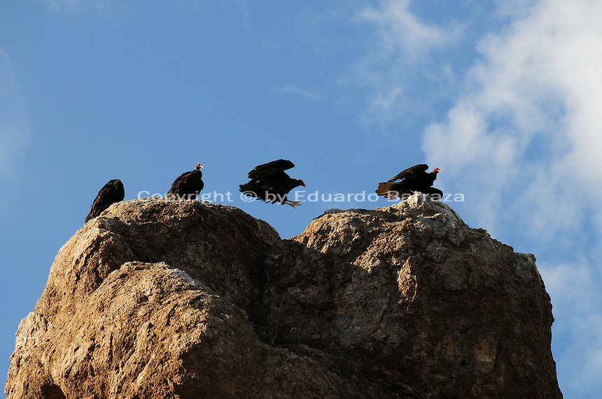 Superior, Arizona (September 21, 2014) -- A group of turkey vultures perched on top of a cliff where they wait for the morning sun light before they depart to spend their day looking for carrion. As September 20 brings the Autumn Equinox, marking the end of the summer, a flock of turkey vultures that make the Boyce Thompson Arboretum in Superior, Arizona their home from March to September each year, are about to begin their annual migration.  Photo by Eduardo Barraza © 2014