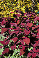 Coleus Solenostemon Big Red Judy