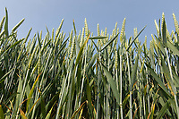 Winter wheat <br /> ©Tim Scrivener Photographer 07850 303986<br />      ....Covering Agriculture In The UK....