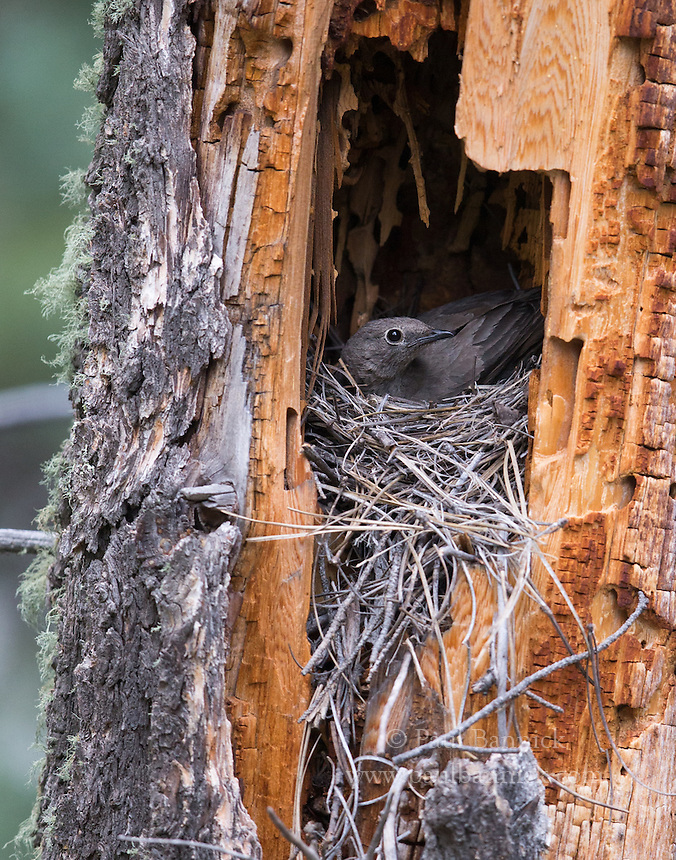 A Townsend's Solitaire nests a cavity in a old snag.