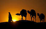 Camels at sunset in Sahara sand dunes of Erg Chebbi in Morocco