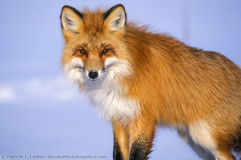 Red Fox on the snowy tundra of Alaska arctic north slope.