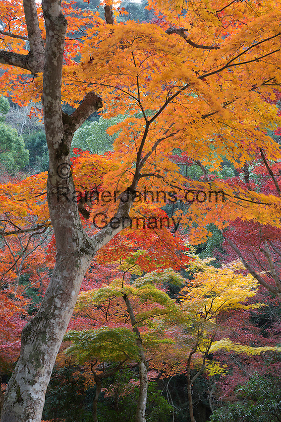 Japan, Chūgoku (Southwest Honshu), Hiroshima Prefecture, Miyajima Island: Maple trees in Autumn at Momijidani Park (Japanese Maple Park) | Japan, Chūgoku (Suedwest Honshu), Praefektur Hiroshima, Miyajima Island: Herbstfarben im Momijidani Park (Japanischer Ahorn Park)