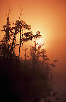 Cypress swamp, sunrise and fog, Cherokee National Wildlife Refuge, Georgia