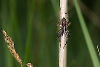 Pantherspinne, Panterspinne, Wolfspinne, altes Männchen, Alopecosa spec., Lycosidae, Wolfspinnen, Wolf spider, Wolf spiders