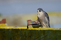 "Adult ""Peale's"" Peregrine Falcon (Falco peregrinus) perched on a northwest dock. Whatcom County, Washington. March."
