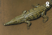 Nile crocodile (Crocodylus niloticus) resting in water, overhead view (Licence this image exclusively with Getty: http://www.gettyimages.com/detail/200503181-001 )